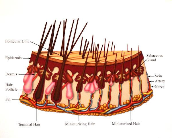 The Fundamentals of Hair Loss